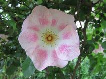 canina rosa Arkivfoto