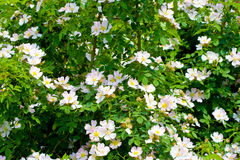 Canina rose. Dog rose bush with in summer day Stock Photos