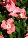 caninahunden rosa steg Royaltyfria Bilder