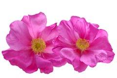 caninahunden rosa steg Arkivbild