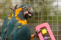 Caninde Macaw Parrot Playing. A Caninde Macaw otherwise known as Blue Throated Macaw parrot in an aviary playing with a toy Royalty Free Stock Image