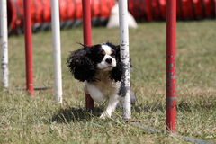 Canine agility Royalty Free Stock Photography