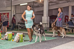 Canine along with trust Husky doing a jog around the ring at a d Stock Images