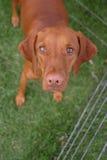 Canine avec le oeil écarquiller photographie stock