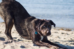 Canine on the Beach Stock Photography