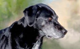 Canine black lab portrait. A beautiful portrait of a black lab dog Stock Images