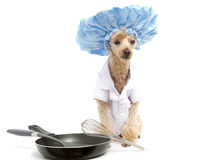 Canine Chef Stock Photo