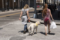 Canine Companions dog in training. Woman crossing a road training a Canine Companions Labrador dog in Ybor City Tampa Florida USA. April 2017 Royalty Free Stock Photo