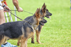 Canine contest. Canine contest of German shepherds Stock Photo