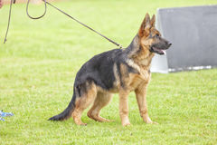 Canine contest. Canine contest of German shepherds Royalty Free Stock Photography