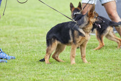 Canine contest. Canine contest of German shepherds Stock Photography