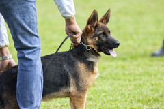Canine contest. Canine contest of German shepherds Stock Image