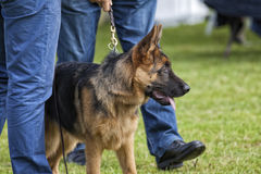 Canine contest. Canine contest of German shepherds Stock Images