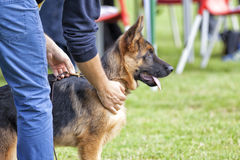 Canine contest. Canine contest of German shepherds Royalty Free Stock Photo