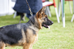 Canine contest. Canine contest of German shepherds Royalty Free Stock Images