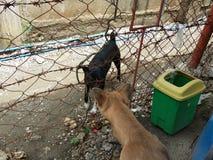 Canine Couple Stock Photo