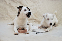 Canine Dental Health. Jack Russell showing off his newly cleaned teeth Stock Images