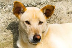 Canine dog close up, dog eyes, wolf eyes. Dog that resembles a features of a wolf stock photography