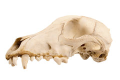 Canine dog skull. Cutout of canine dog skull with jagged teeth Royalty Free Stock Images