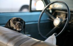 Canine Driver. Adorable and soulful labrador mix ready to take the old car for a drive Royalty Free Stock Photography