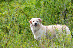 Canine Exploration. White dog with, Catahoula mix, explores a world of nature's green.  He stands with head turned exposing the two colors of his eyes, brown and Stock Photography