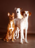 Canine friends. Three pretty dogs looking in the studio Royalty Free Stock Photos