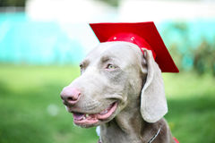 Canine graduation. Dog wearing an academic cap during canine graduation Royalty Free Stock Images