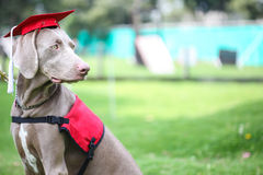 Canine graduation. Dog wearing an academic cap during canine graduation Stock Images
