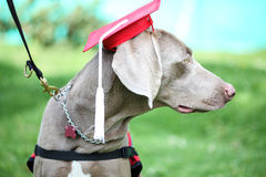 Canine graduation. Dog wearing an academic cap during canine graduation Royalty Free Stock Image