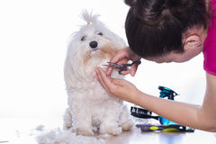 Canine hair cut. Stock Images