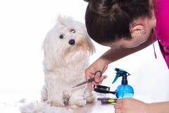 Canine hair cut. stock photography