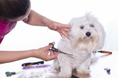 Canine hair cut. Royalty Free Stock Image