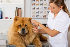 Canine hairdresser. In a beauty clinic with Chow Chow Royalty Free Stock Photos