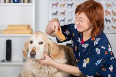 Canine hairdresser. In a beauty clinic with Golden Retriever Stock Photos