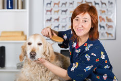 Canine hairdresser. In a beauty clinic with Golden Retriever Royalty Free Stock Images