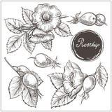 Canine Hip Dog Rose Hand Drawn Botanical Sketch. Set of hip rose flowers, buds, berry and branches. Vintage botanical engraved illustration. Vector hand drawn stock illustration