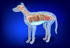 Canine Internal Organs and Skeleton. Dog Anatomy. The Dog`s Body Systems stock illustration