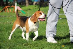 Canine obedience education with a beagle dog on leash for the foot suite Stock Photos