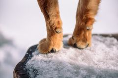 Canine paw. The legs of the dog. Home Pitolmets stands on its feet. Take the pet's paw. The red dog is standing stock images