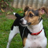 Canine portrait. Portrait of a Jack Russell dog Stock Photography