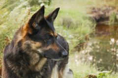 Canine profile on a forest background. Live color without processing royalty free stock photography