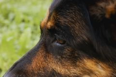Canine profile on a forest background royalty free stock photo