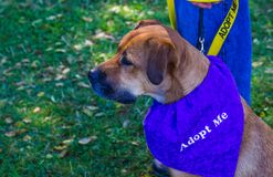 Canine With Adopt Me Scarf. Canine With Purple Adopt Me Scarf Royalty Free Stock Images