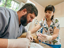 Canine removal surgery. Male veterinarian and his assistant doing surgery of dog`s canine removal Stock Photos
