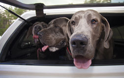 Canine road trip Royalty Free Stock Image