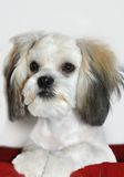 Canine Shih Tzu Stock Photography