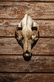 Canine skull closeup Royalty Free Stock Photography