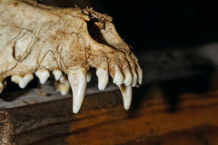 Canine skull closeup Royalty Free Stock Photo
