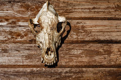 Canine skull closeup Stock Images