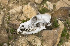 Canine Skull in Situ in the Judaen Desert in the Negev. A complete bleached canine skull profile found on a desert hike in the winter near Arad in the Negev royalty free stock photos